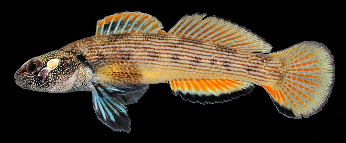 Etheostoma derivativum (Photo by Mark Hoger)